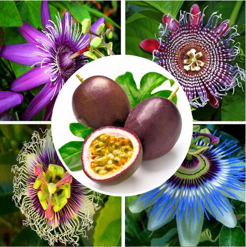 Propriedades Medicinais da Passiflora