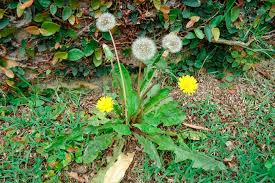 Dente-de-leão – Taraxacum officinale