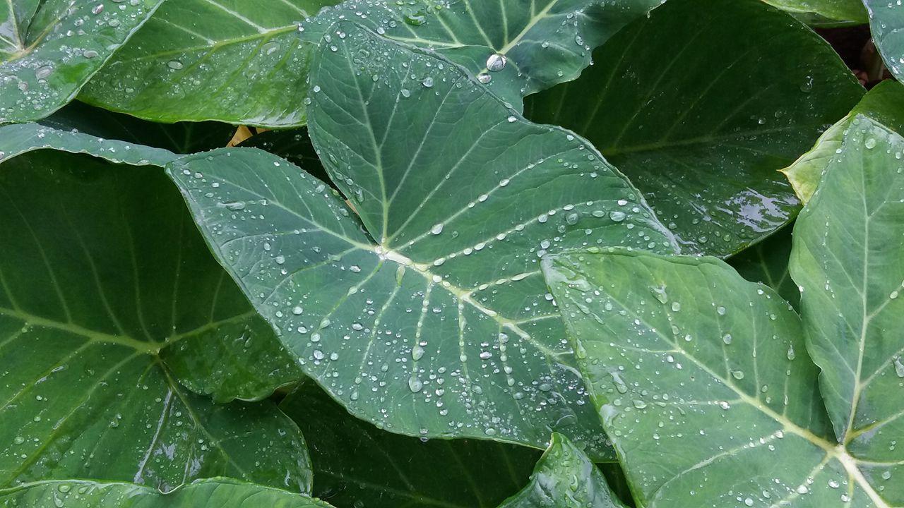 Taioba: Benefícios, propriedades, vitamina e nutrientes