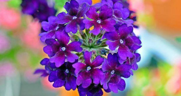 Verbena – Para Que Serve, Planta, Flor, Como Fazer Chá, Benefícios e Propriedades