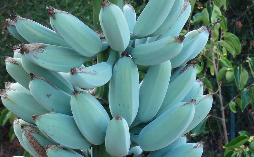 Você já ouviu falar da Blue Java, uma banana azul com textura de sorvete e sabor de baunilha?